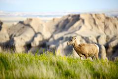 south dakotas badlands bighorn sheep. badlands wildlife. animals photo collec - stock photo