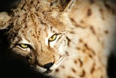 Wild lynx taxidermy. closeup lynx photography. animals photo collection. taxi Stock Photos
