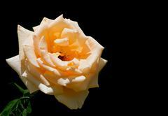 Rose on black background - stock photo