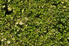 Hedge wall - green leaves wall background. Stock Photos