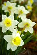 spring time narcissuses - stock photo