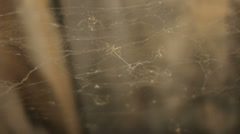 Resting Spiders in Drafty Cobweb - 25FPS PAL Stock Footage