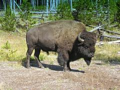 Yellowstone Fauna - stock photo