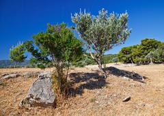 Olive trees growing in ruins of Sanctuary of Poseidon, Poros Stock Photos