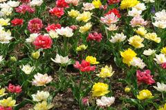 Floral pattern: multicolored tulips - stock photo