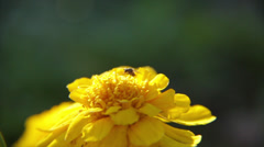 A Fly on a yellow flower Stock Footage