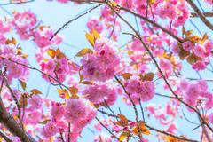 Close up of blooming double cherry blossom and blue sky - stock photo