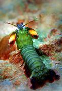 Peacock mantis shrimp Stock Photos