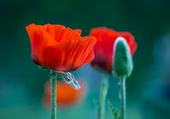 Poppies in the Garden - stock photo