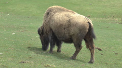 American Bison Buffalo Grazing On Grass Stock Footage