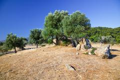 Olive trees growing in ruins of Sanctuary of Poseidon - stock photo