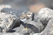 Stock Photo of adult kentish plover water bird