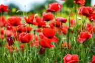 Stock Photo of closeup of red poppies on cereal field in summer