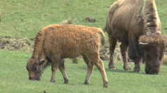 American Buffalo Bison Calf Feeding With Mother Stock Footage