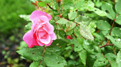 1730 Pink Rose with Water Drops, HD Stock Footage