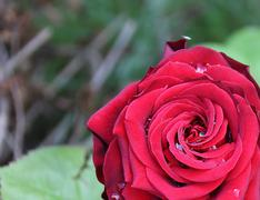 red rose with few dew drops - stock illustration