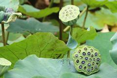 Seedpods of Lotus flower - stock photo