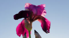 Pink Iris Flower 2 - stock footage