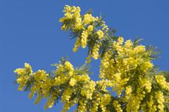 mimosa flowers on plant - stock photo
