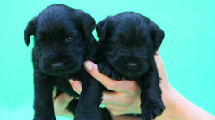 Miniature Schnauzer puppies Stock Footage