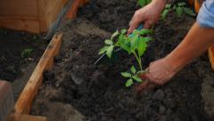 Male hands planting tomato plant in soil Stock Footage