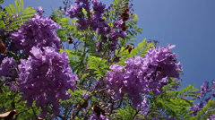 Blooming Jacaranda tree flowers, closeup. Stock Footage