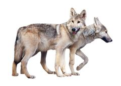 Two standing gray wolves - stock photo