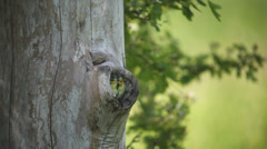 Blue Tits nesting in a hole in a tree Stock Footage