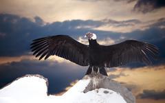Andean condor on rock Stock Photos