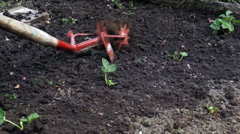 Tillage of strawberries garden bed Stock Footage