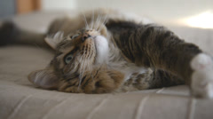 Domestic Cat lying and looking - stock footage