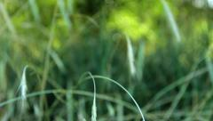 Close Tracking shot of Wheat Stock Footage