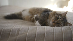 Domestic Cat during resting - stock footage