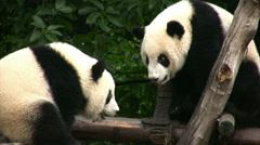 Pandas having fun Stock Footage