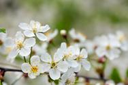 Blooms tree branch in  blur background   with copyspace Stock Photos