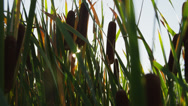 Stock Video Footage of CU Sun shining through cattail / Cedar Hills, Utah, USA