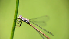 Dragon Fly Eating Stock Footage