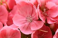 Stock Photo of macro of pink sweet william blooms