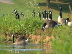 Geese Swimming Stock Footage