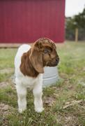 A baby goat outside a barn. Stock Photos
