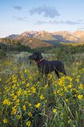 A black labrador dog in a wildflower meadow, at sunset. Stock Photos
