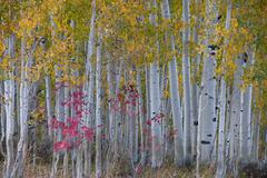 Maple and aspen trees in the national forest of the wasatch mountains. white Stock Photos