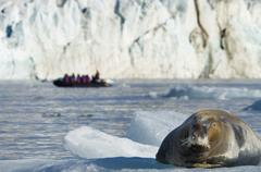 A large bearded seal on the ice, and a zodiac inflatable boat full of passeng Stock Photos