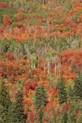 Maple and aspen trees in full autumn foliage in woodland. Stock Photos