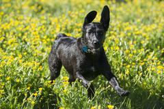 A black labrador dog running through wildflowers, with her ears flapping. Stock Photos