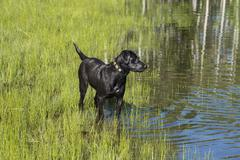 A black labrador dog on the edge of standing water. Stock Photos