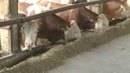 Stock Video Footage of Cows eating