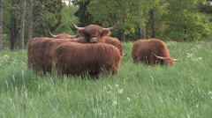 Long-haired cattle with huge horns grazing in a meadow Stock Footage