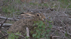 Hare lying and hiding Stock Footage