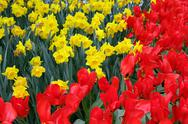 Flower bed in Keukenhof gardens Stock Photos